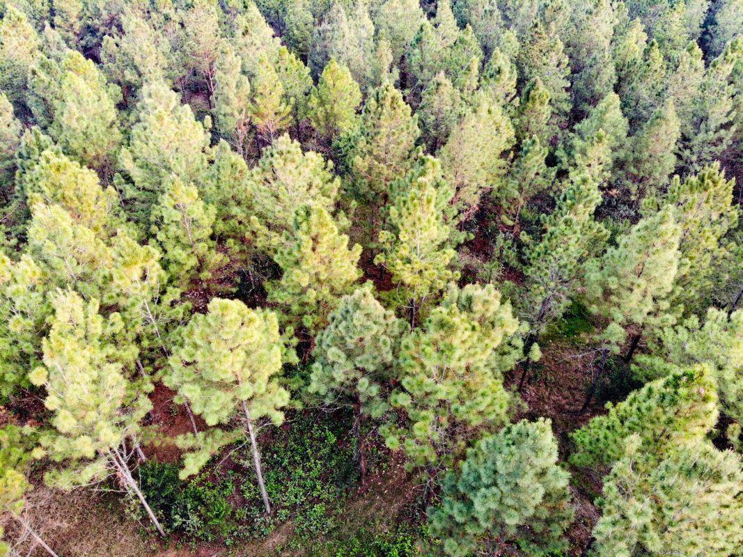 foresta di pino dei caraibi
