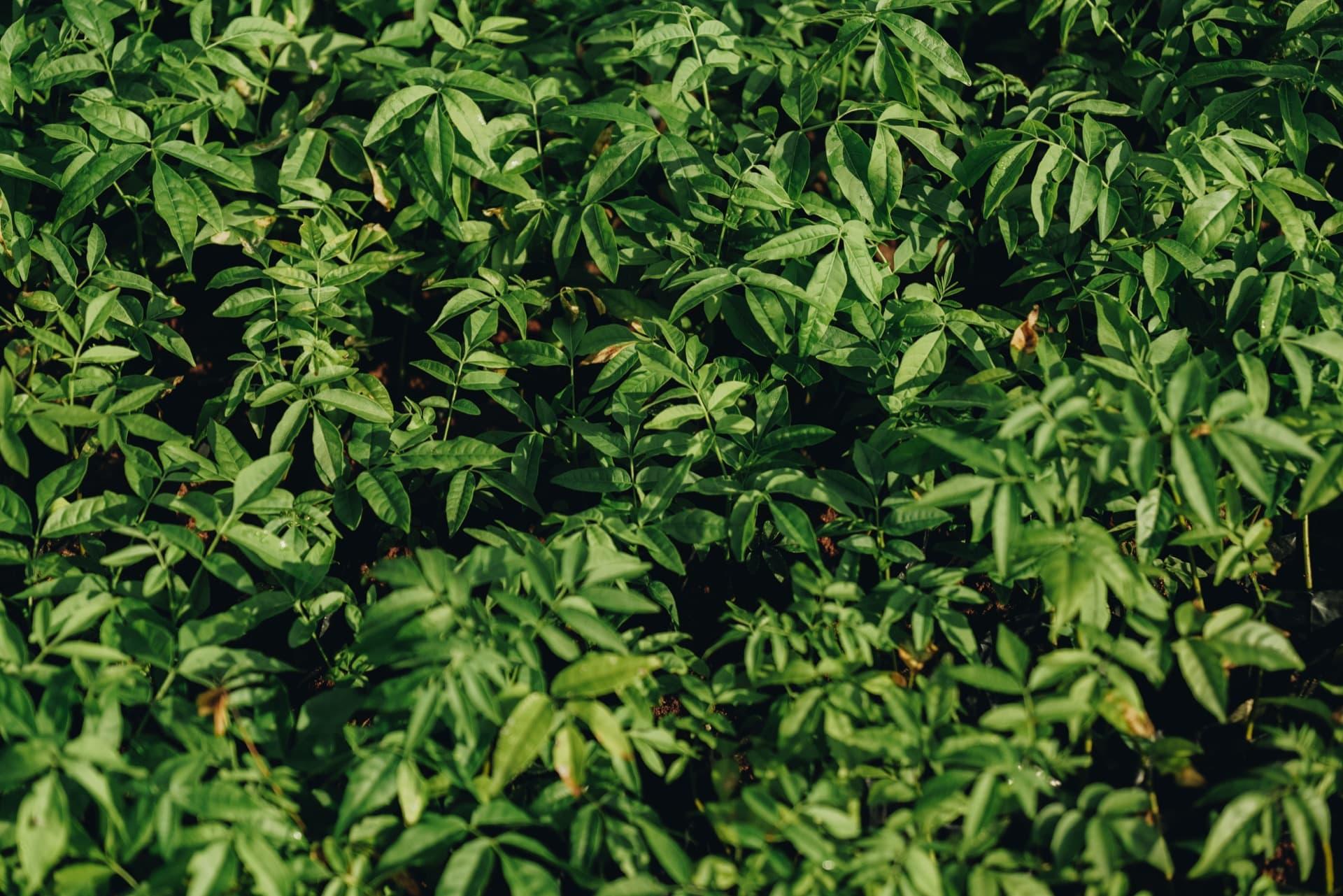 piante di credo nel vivaio