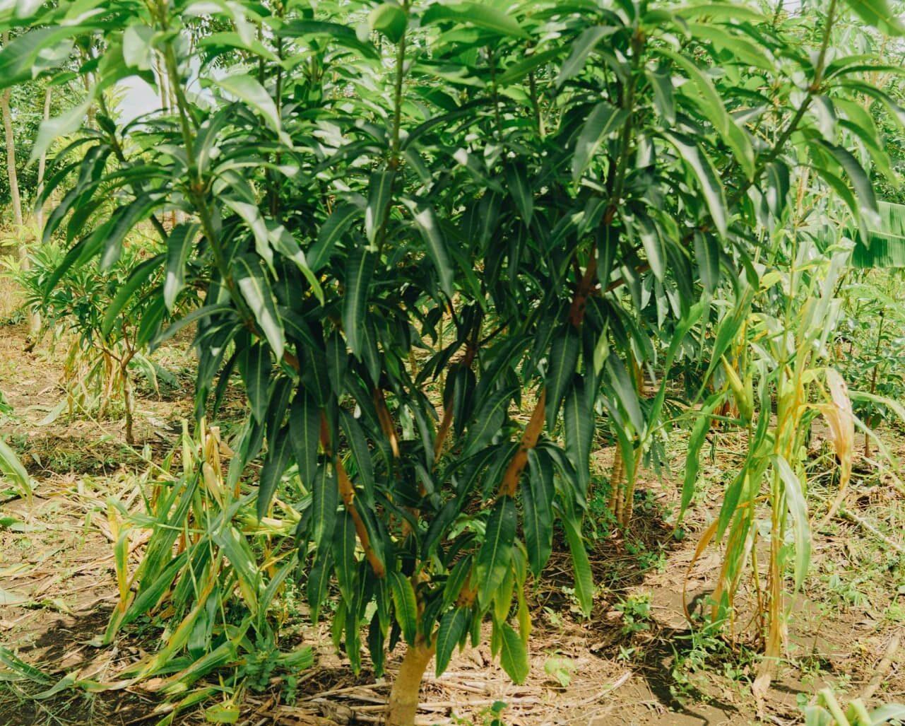 giovane pianta di mango